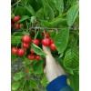 陕西大棚樱桃产地价格,红灯樱桃基地批发价格