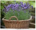 辽宁畅销的梦紫兰薰衣草-优质的薰衣草干花束厂家