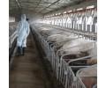 哪里有提#供#实惠的二元猪——售卖二元猪