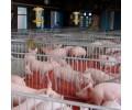 供应苏州*的生猪养殖,生猪养殖多少钱