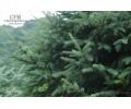 优质京桃树供应批发,垂榆树苗价格