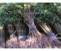 供应吉林高质量的紫穗槐