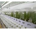 广东组培蓝莓苗多少钱-供应辽宁高质量的组培蓝莓苗