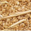 天红酒业常年大量求购小麦