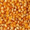 求购大量玉米玉米玉米