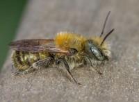 棲霞市忠湖果壁蜂授粉銷售中心-壁蜂