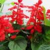 供应山东优惠的一串红,一串红种植