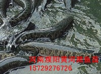 黄河黑鱼苗,山东黑鱼