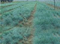 天蓝色蓝羊茅,花卉观赏草,最新蓝羊茅价格,哪里有蓝羊茅货源
