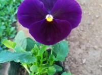 三色堇最新图片,哪里有三色堇种植基地,冬季耐寒蝴蝶梅猫脸花