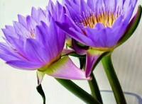 佛系鲜花,睡莲鲜花团购,云南昆明一件代发。