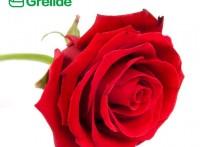 重瓣紅玫瑰花粉玫瑰多酚新食品原料|固體飲料
