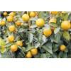 [免费上门安装]合肥柑橘树苗报价#宣城杏子品种$寿州园艺