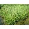 合信花卉苗木出售優質苔草