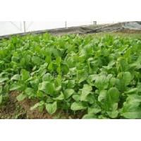 芝麻菜种子  表现较好的野菜品种