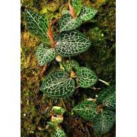 御贵草金线莲技术精良 是高品质的植物