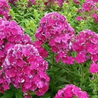 山東宿根花卉,濰坊宿根花卉,供應宿根花卉
