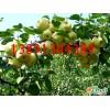 陕西酥梨价格陕西红香酥梨基地陕西冷库红香酥梨产地酥梨行情