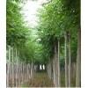 绿化苗木价格云杉、木槿、池杉、河南桧柏、柳杉、潢川金桂、白腊