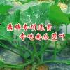 綠色健康專吃南瓜莖葉新品種——綠健