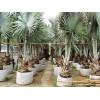 霸王棕种植基地、优质批发、价格低