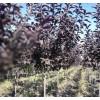 苗圃找天木景观工程有限公司_品种优良 优惠的苗圃
