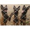 纯种马犬幼犬图片  哪里有卖的 好养吗