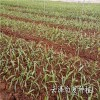 CC安龙白芨种植场白花白芨