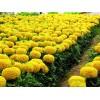 兰州草花供应|领先的花草基地在甘肃